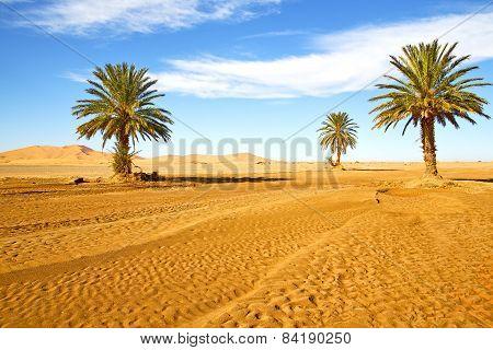 Palm In The  Desert Oasi Morocco Sahara Africa