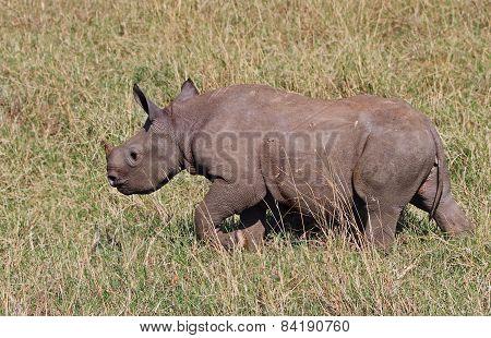 White, rhino calf on the plains of the masai mara