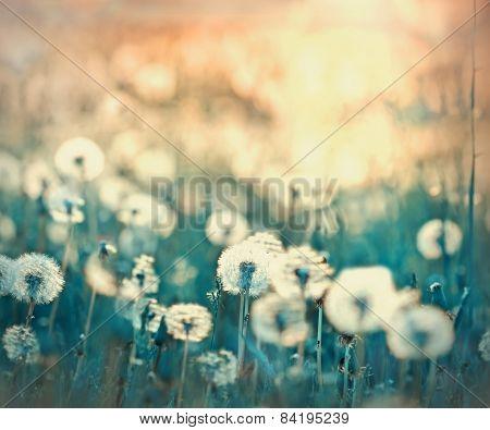 Dandelion seeds - fluffy blowball (dandelion) in meadow poster