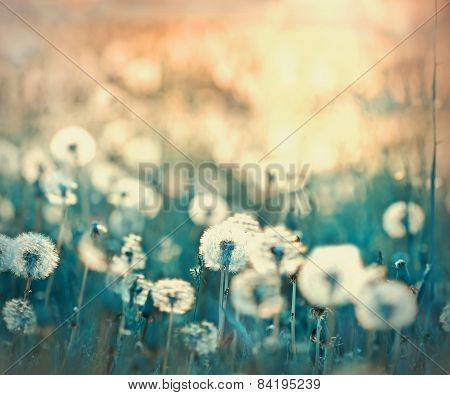poster of Dandelion seeds - fluffy blowball (dandelion) in meadow