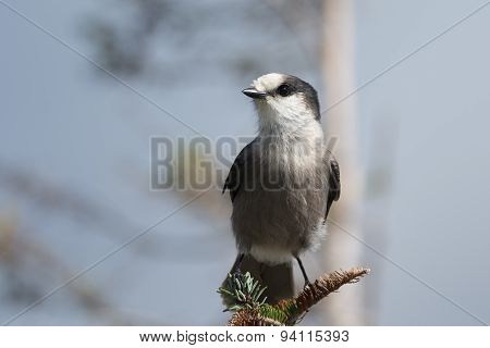 Gray Jay Perched On A Branch.