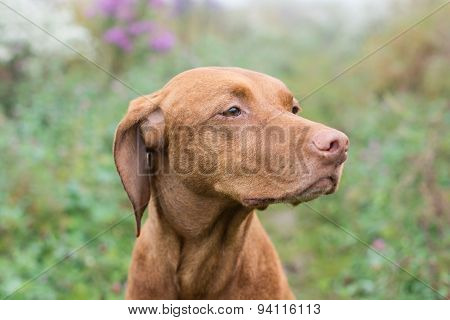 A female Vizsla dog (Hungarian Pointer) stares into the distance.