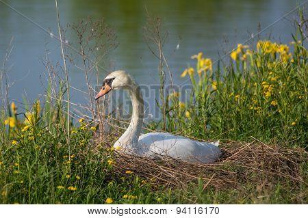 Nesting Mute Swan (cygnus Olor).