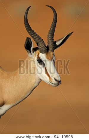 Portrait of springbok antelope (Antidorcas marsupialis), Kalahari desert, South Africa