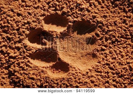 Imprint of the paw of a mature lion (Panthera leo) in soft sand, South Africa