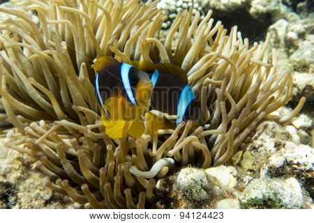 Anemone fish (Amphiprion bicinctus) ) in the soundback with anemone.Coral reef.