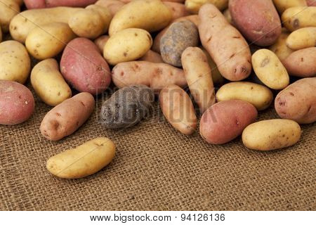 a variety of small, elongated fingerling potato organically grown in Colorado against burlap background, shallow depth of focus