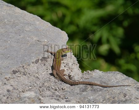 A Croatian lizard on a stone