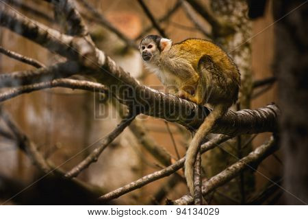 Black Capped Squirrel Monkey In A Tree