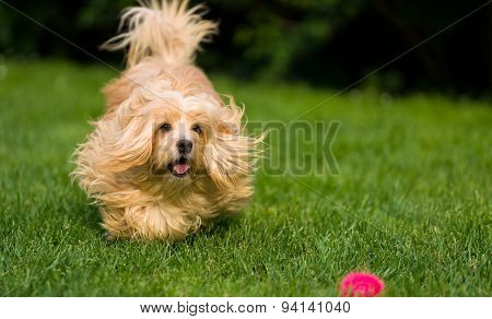 Happy Orange Havanese Dog Is Chasing A Ball In The Grass