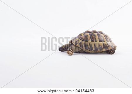 Greek Land Tortoise, Testudo Hermanni, White Studio Background
