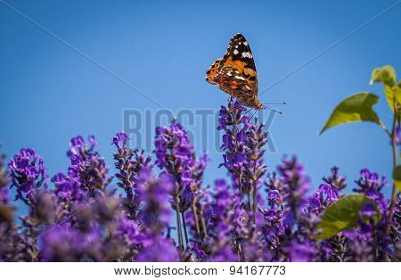 Butterfly (Vanessa cardui) on a lavender flower