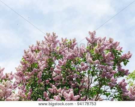 Authentic Landscape Blooming Lilac Branches Against The Sky, Backlit, As A Background For Setting Ad