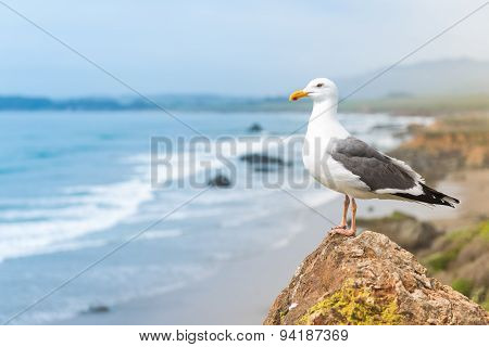 Coastal Seagull