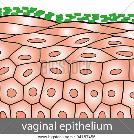 Vaginal Epithelium