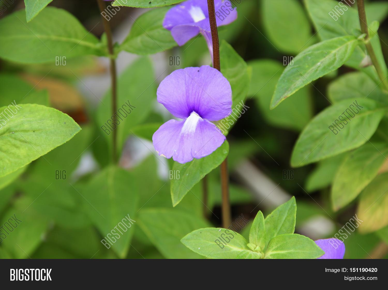 Purple Brazilian Image Photo Free Trial Bigstock
