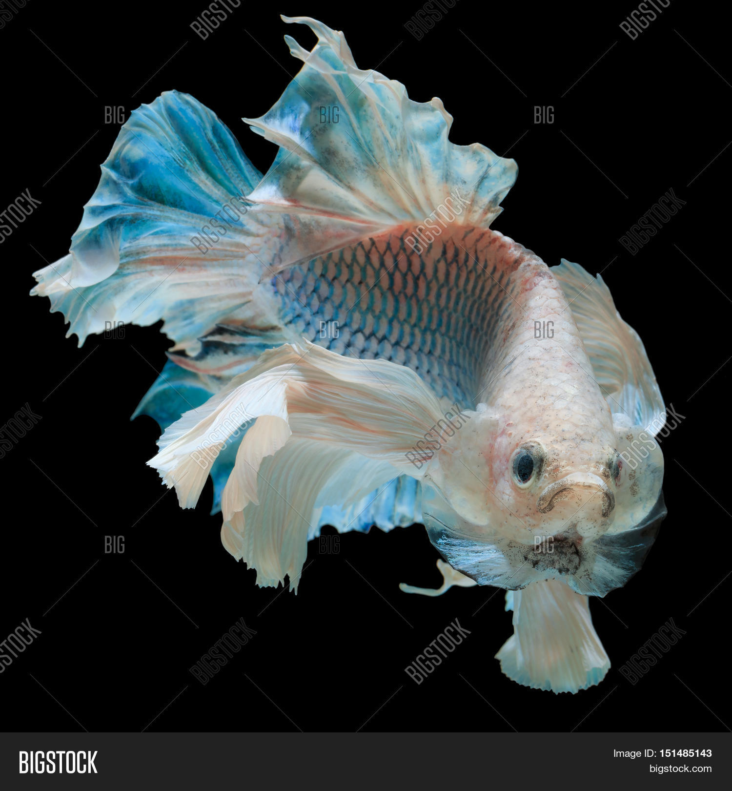 Siamese Betta Fish | Betta Fish Fighting Fish Siamese Image Photo Bigstock