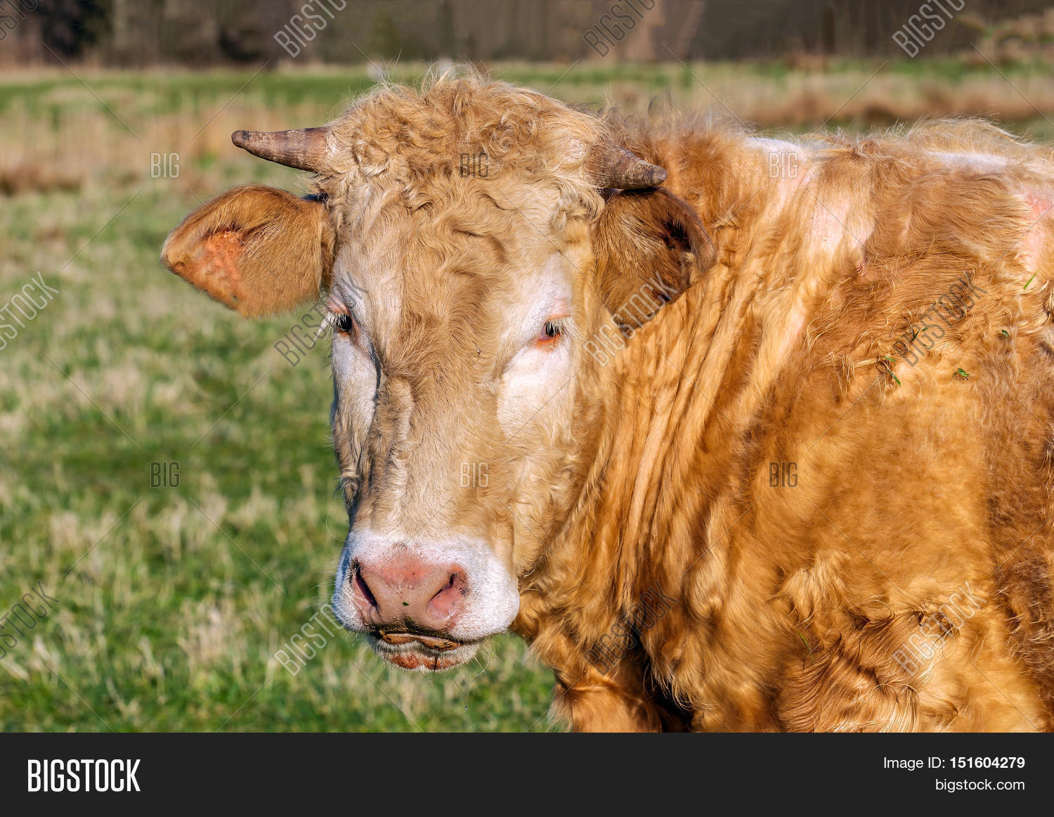 Portrait Staring Cow Image Photo Free Trial Bigstock