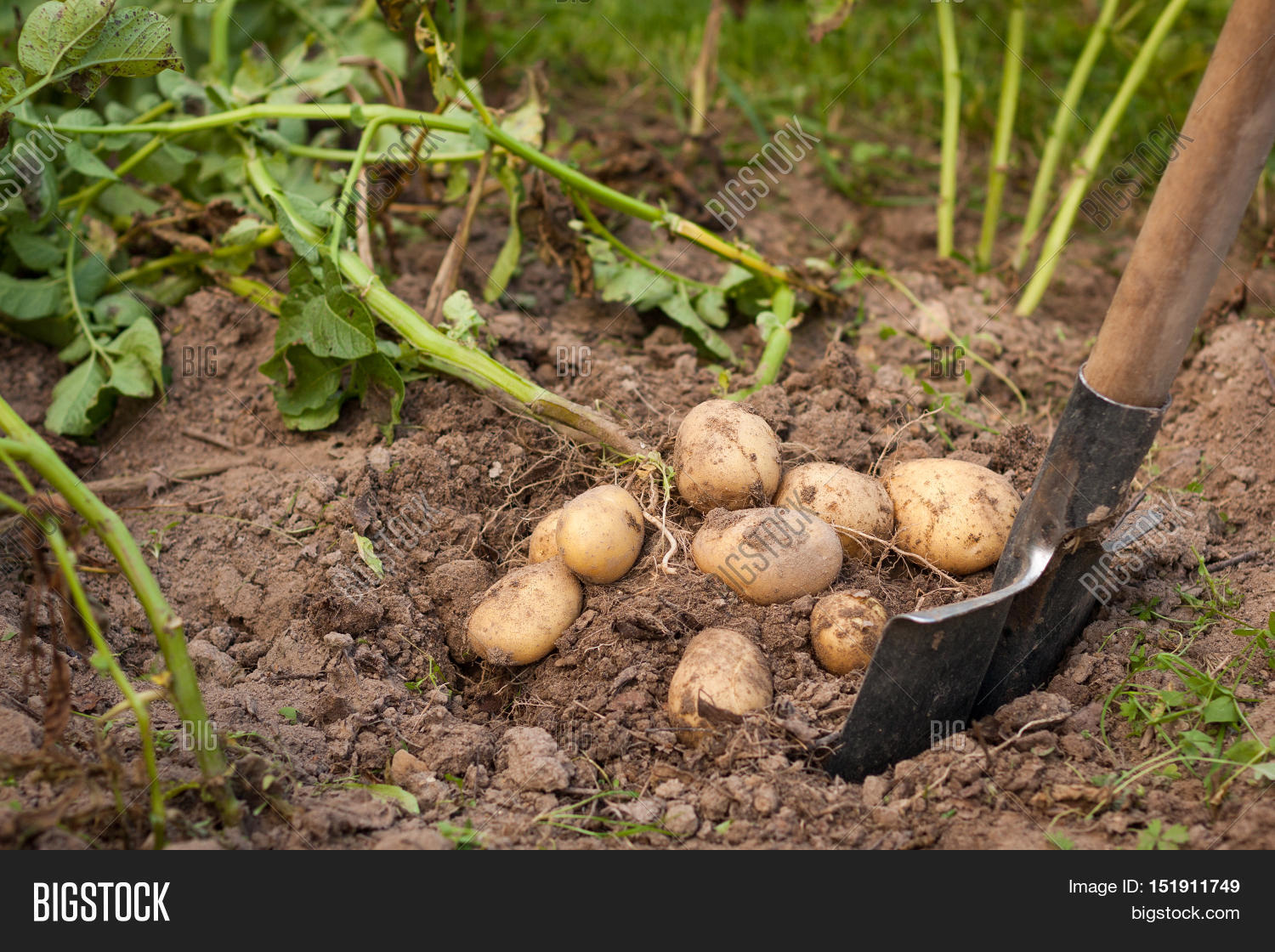 When to dig potatoes