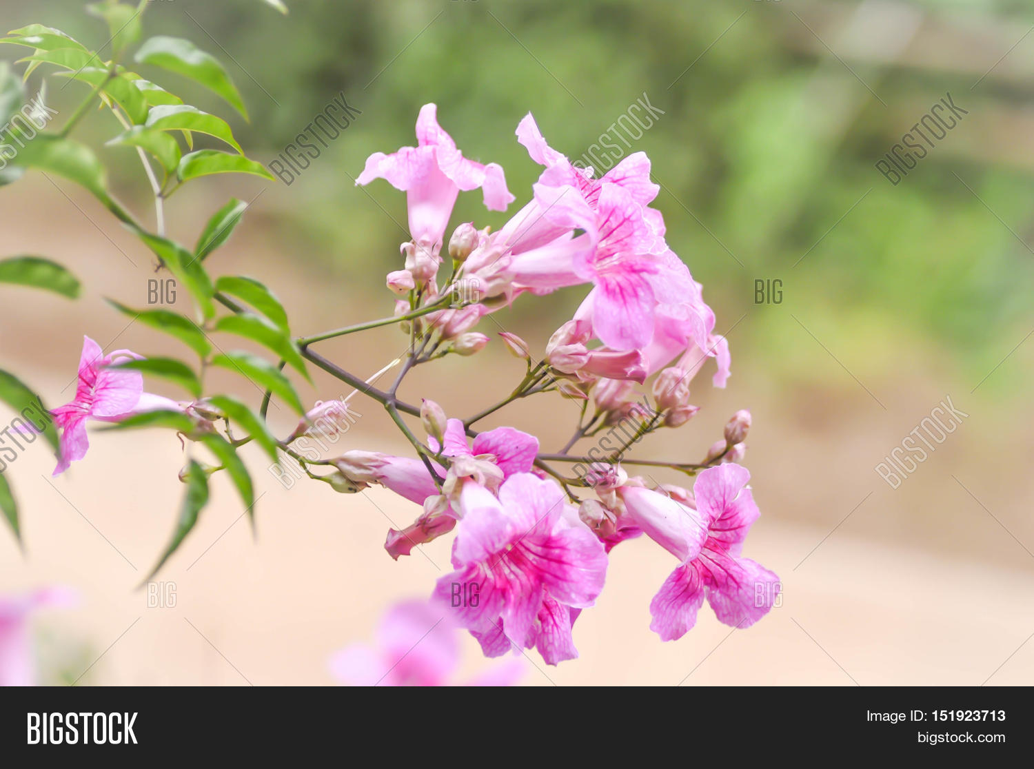 Zimbabwe creeper pink trumpet vine image photo bigstock zimbabwe creeper pink trumpet vine or trumpet vinepodranea ricasoliana flower mightylinksfo Image collections