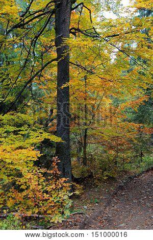 Autumn alley in mountain forest. Autumn seasson
