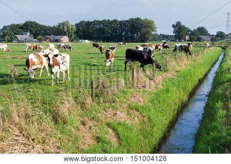 Herd of cattle grazing in european pasture near ditch