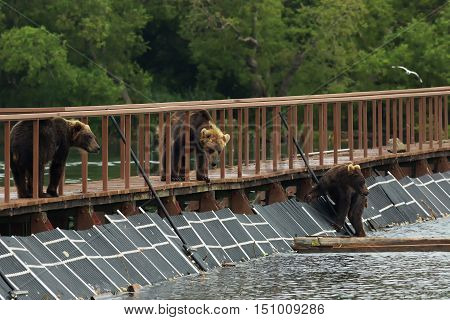 Three young brown bear on fence to account for fish. Kurile Lake in Southern Kamchatka Wildlife Refuge.