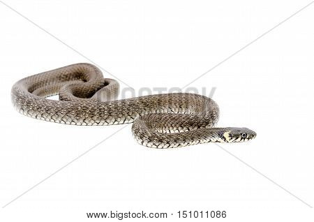 Portrait of a creeping snake isolated on white background