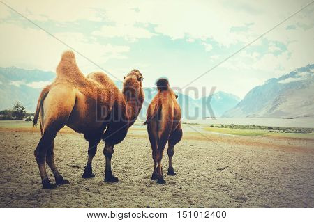 Double Hump Camels Setting Off On Their Journey In The Desert In Nubra Valley, Ladakh, India (vintag