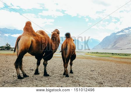 Double Hump Camels Setting Off On Their Journey In The Desert In Nubra Valley, Ladakh, India