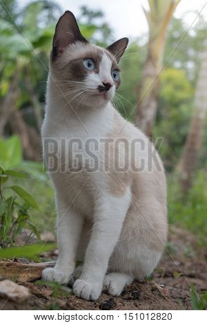 Homeless cat with siamese coloring and beautiful blue eyes.