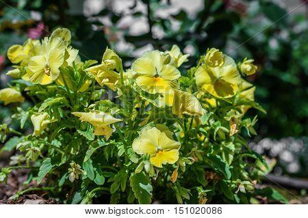 yellow beautiful flowers growing in the green garden