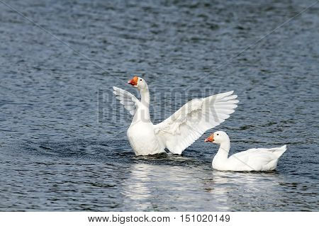 two waterfowl geese on blue lake spread its wings