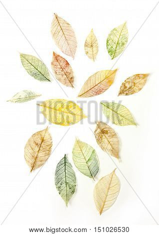 A set of yellow and green tinted skeleton leaves on white background, autumnal design elements