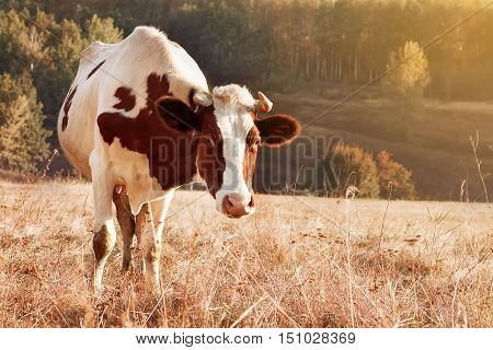 autumn landscape cow graze. Cow grazing in meadow in autumn. Single cow grazes near autumn forest nature background with sunshine copy space