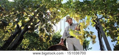 Grapes harvest Winemaker in vineyard in autumn season