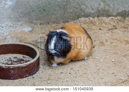 Guinea pig standing at the empty bowls. Pet animal