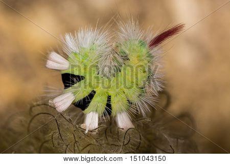 Pale tussock moth (Calliteara pudibunda) caterpillar curled up. Fully grown caterpillar of moth in the family Erebidae with long white hairs and pink tail tussock