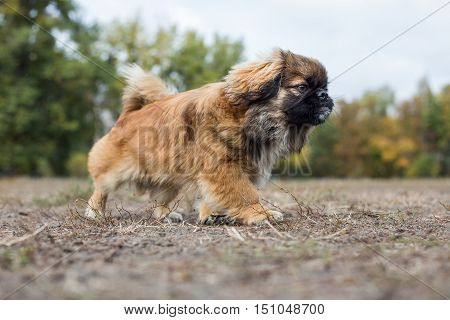 Pekingese runs across the field. Dog is walking in the autumn park.