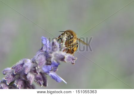 Honey Bee pollinating a flowering lilac bush