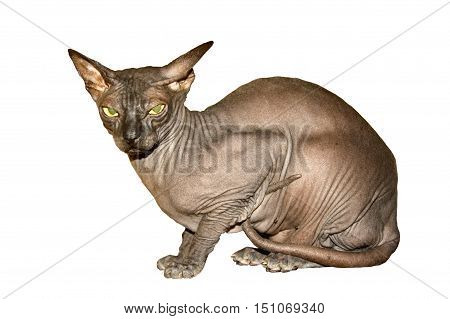 1 Sphinx cat on a white background