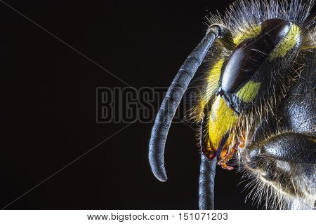 Extreme Macro of the head of Common Wasp (Vespula vulgaris) from the side against a black background looking into space