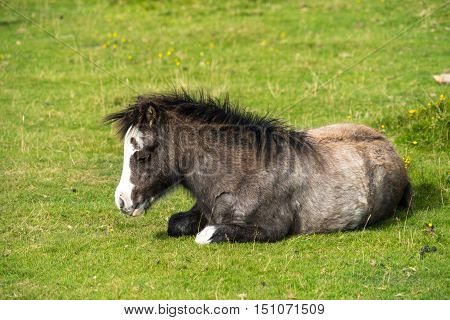 Bay wild pony foal (Equus caballus) dozing on a warm daylit by low morning sun. Gower Peninsula South Wales UK