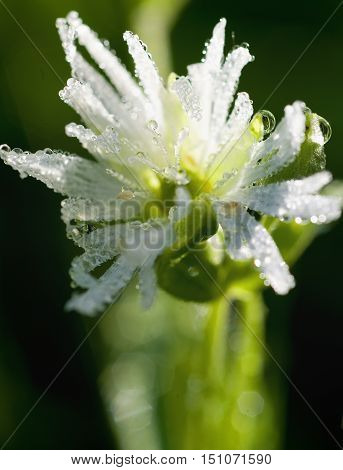 Drops Of Dew On A Flower