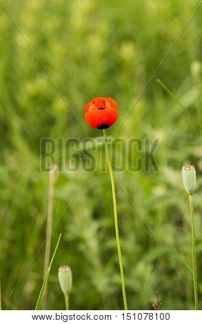 Poppy growing bloom flower in the meadow
