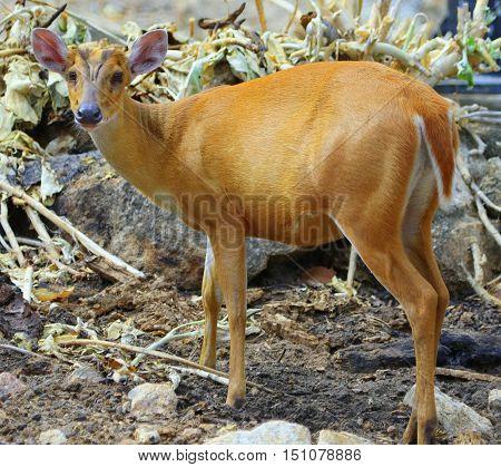 Indian Muntjac doe standing in broken stalks, zoo south of Songkhla, Thailand