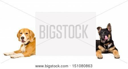 Beagle and German Shepherd puppy lying behind a banner isolated on white background