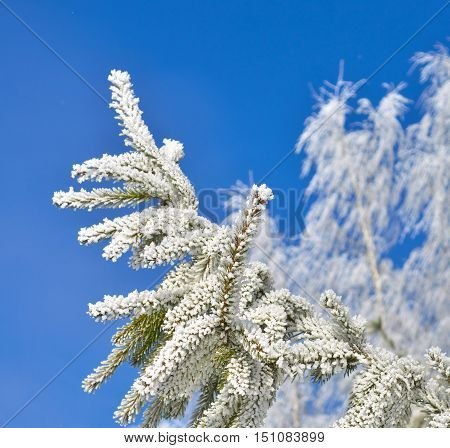 Fir tree branch covered with white frost.