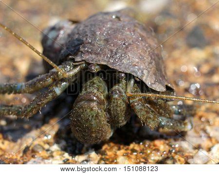 Close up photo of a Hairy Hermit Crab (Pagurus hirsutiusculus)