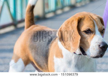 Dog Beagle Breed